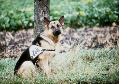 Schäferhund des Zolls an der innerdeutschen Grenze, 15. August 1984