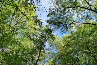 Blätterdach der Baumkronen im Hambacher Forst bei Morschenich. Beginnender Herbst mit Laub verschiedener Baumarten im September 2018